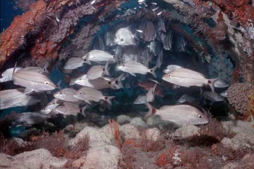 Fish on artificial reef for habitat restoration